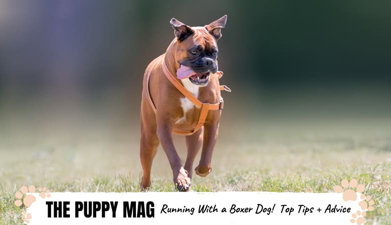 Running With Boxer Dogs: Tips, Advice, Gear & FAQs