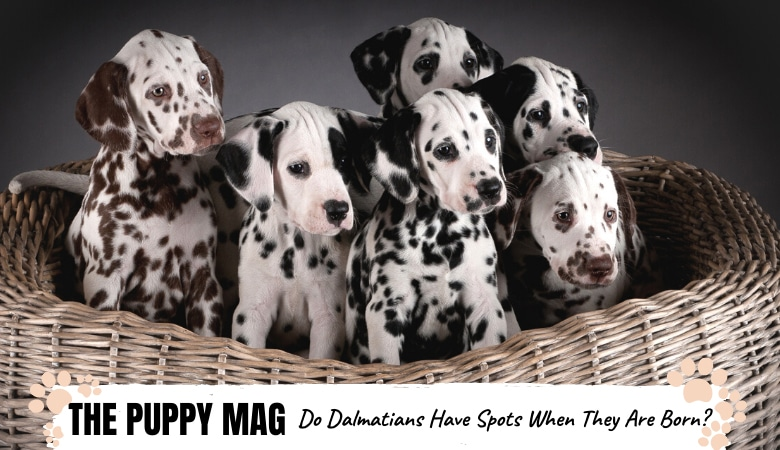 Do Dalmatians Have Spots When Born? Dalmatian Spot FAQs