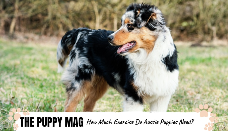 how-much-exercise-do-australian-shepherd-puppies-need.png