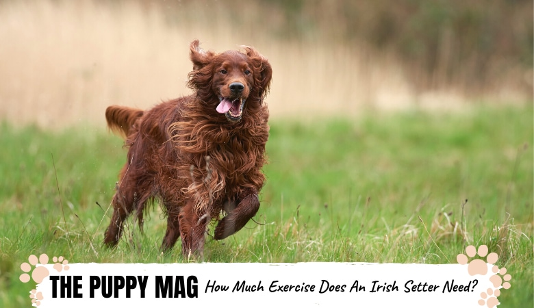 how-much-exercise-do-irish-setters-need