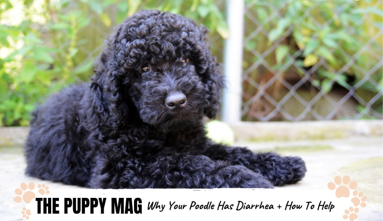 My Poodle Has Diarrhea: Here's Why and How To Help