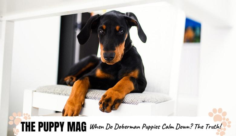 When Do Doberman Puppies Calm Down? The Truth & Advice