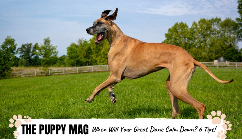 When Do Great Danes Calm Down? Tips For Hyper Danes