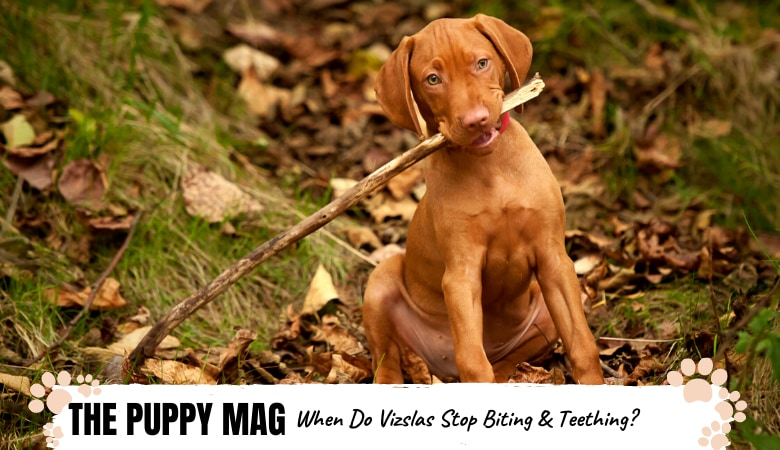 When Do Vizslas Stop Biting & Teething? And How To Manage