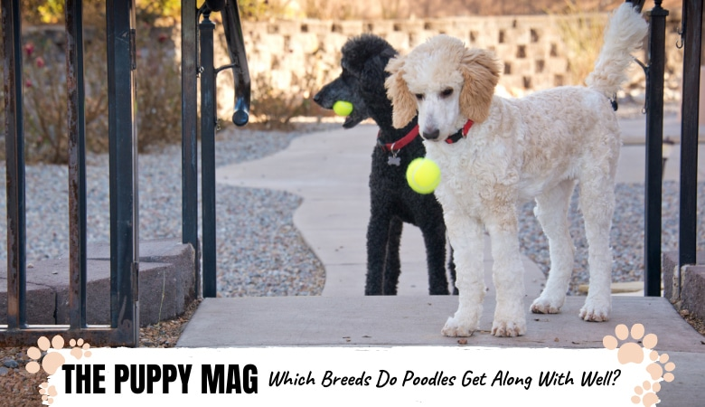 10 Breeds That Get Along Well With Poodles: Best Picks