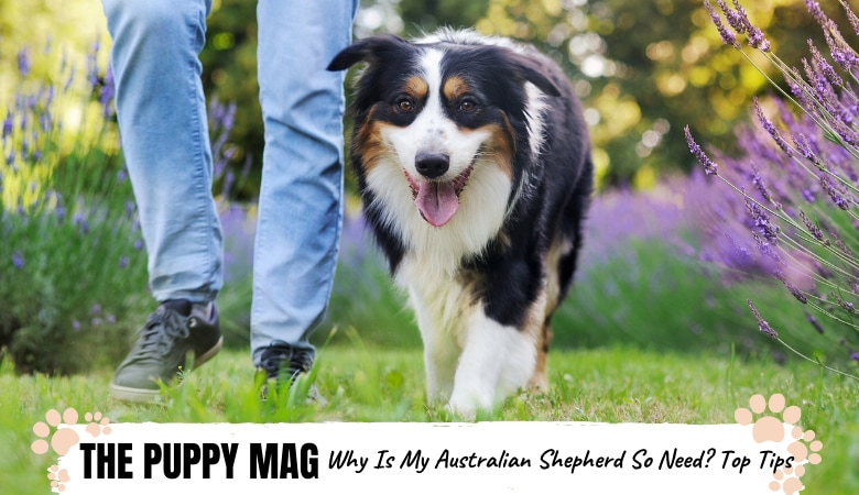 Why Are Australian Shepherds So Needy? What You Can Do