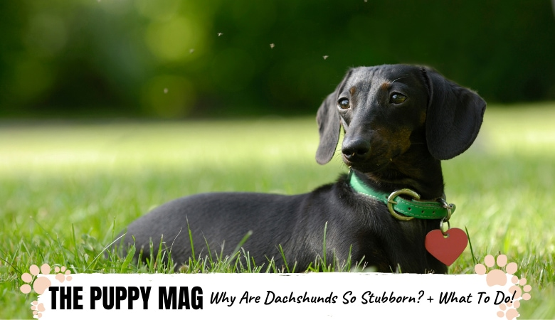 Why Are Dachshunds So Stubborn? 5 Reasons & What To Do