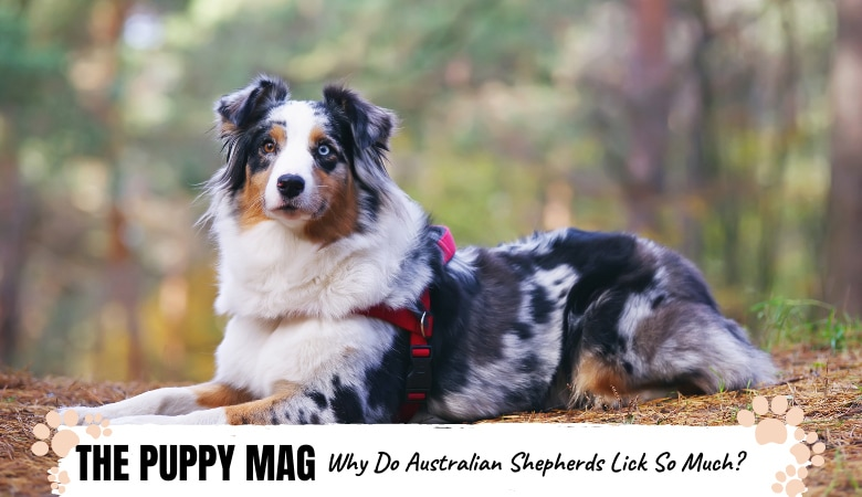Why Do Australian Shepherds Lick So Much? How To Stop It