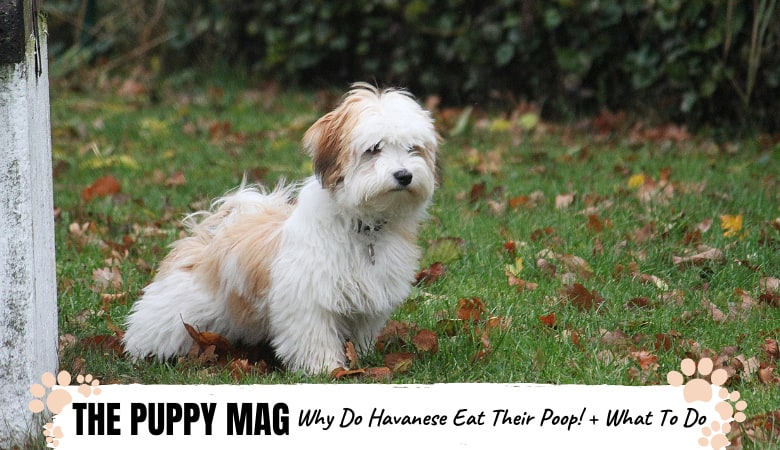 Why Do Havanese Eat Their Poop? And How To Stop It