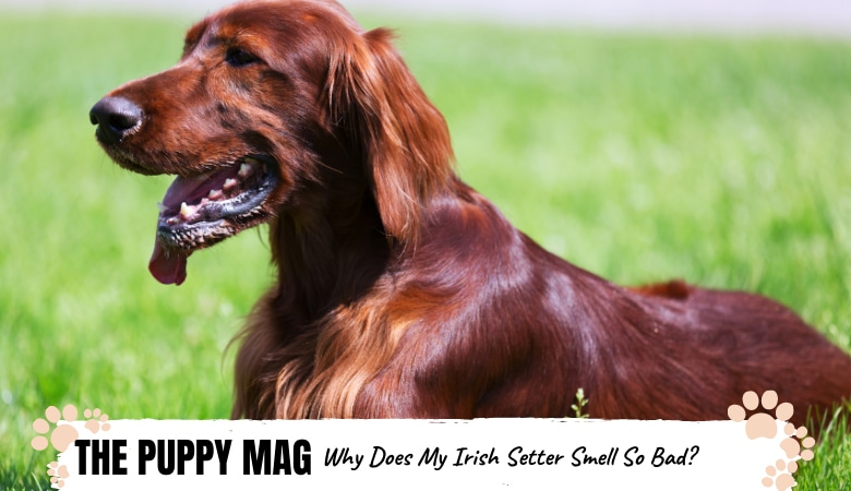 why-does-my-irish-setter-smell.png