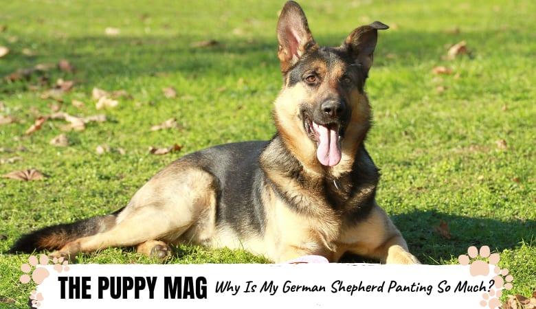 Why Is My German Shepherd Panting So Much? Top FAQs