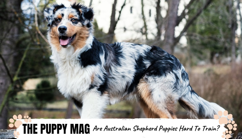 are-australian-shepherd-puppies-hard-to-train.png