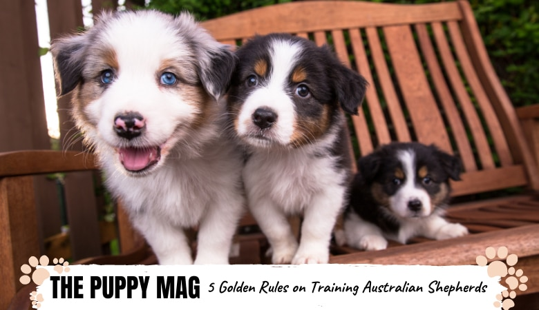 are-australian-shepherd-puppies-hard-to-train2