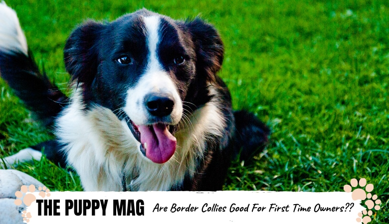 are-border-collies-good-for-first-time-owner