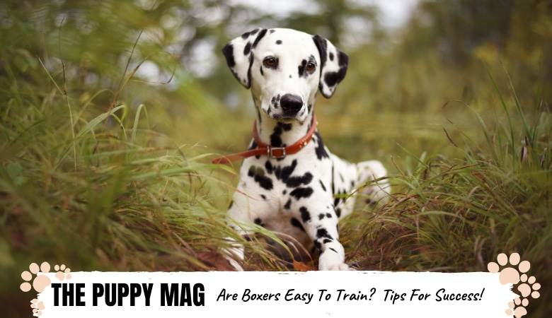 Are Dalmatians Easy To Train? Training Tips For Success