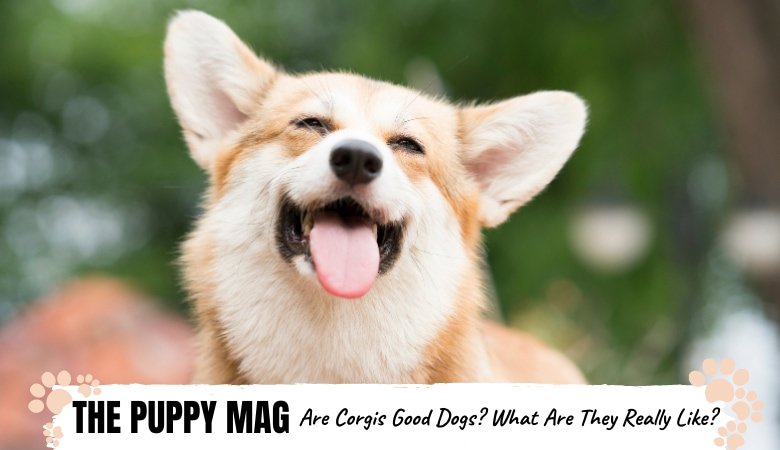 are-corgis-good-dogs.png
