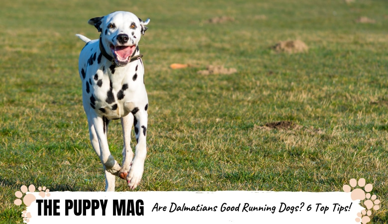 are-dalmatians-good-running-dogs.png