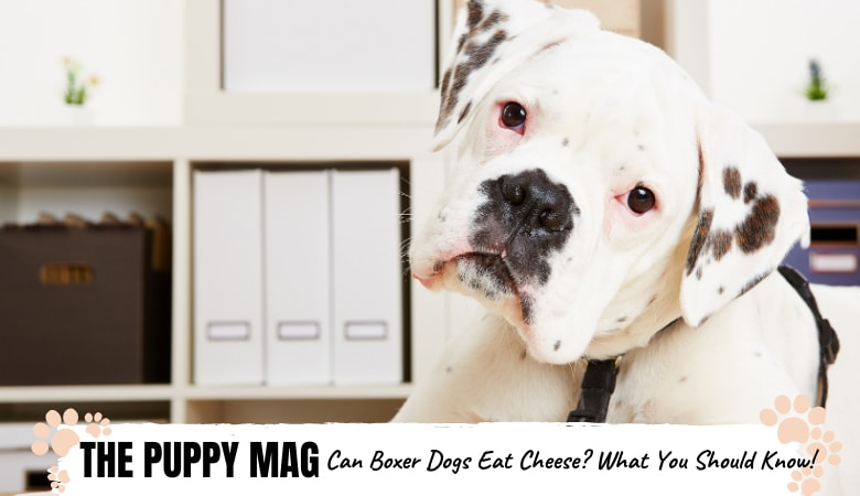 Can Boxer Dogs Eat Cheese? What Every Owner Should Know