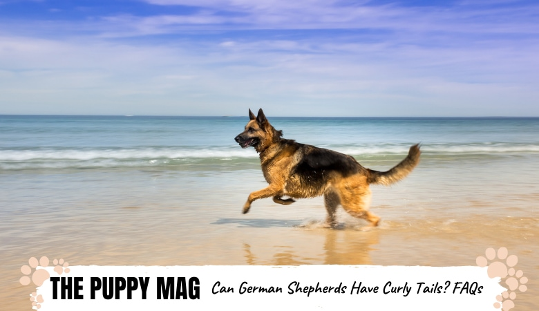 Do German Shepherds Have Curly Tails? GSD Tail FAQs