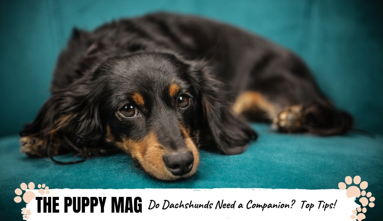 do-dachshunds-need-companions_.png