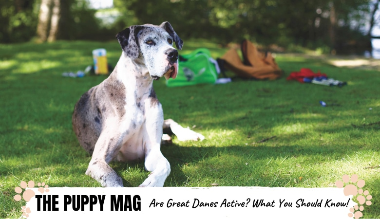 Are Great Danes Active Dogs? Activity Levels Explained