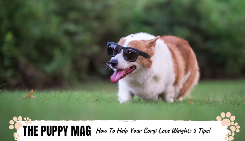 how-to-help-corgi-lose-weight.png