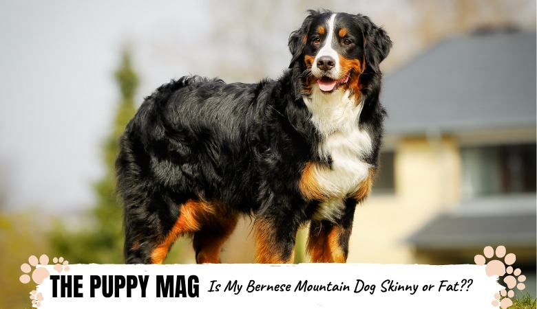 Bernese Mountain Dog Underweight? Overweight? Growth Info