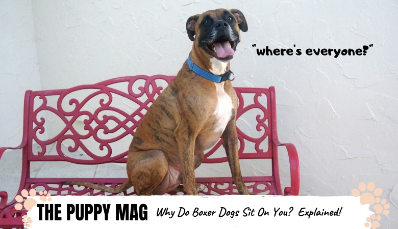 Why Does My Boxer Dog Sit On Me? 5 Main Reasons