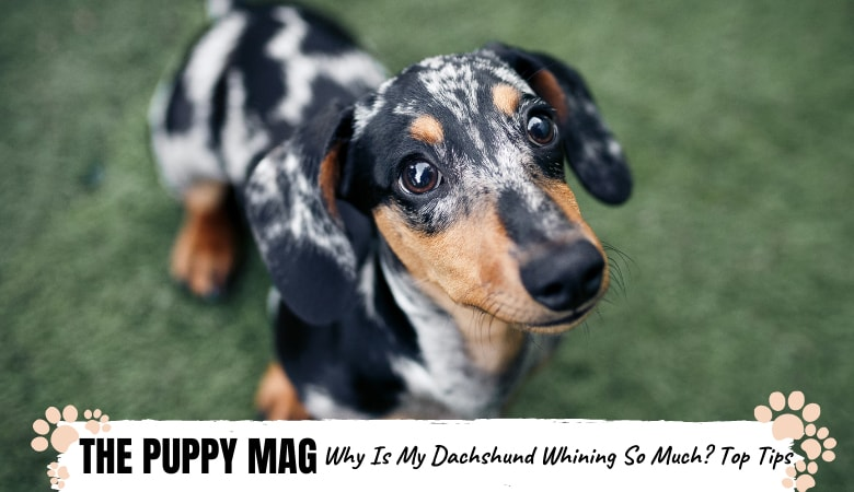 Why-Is-My-Dachshund-Whining-So-Much_-.png