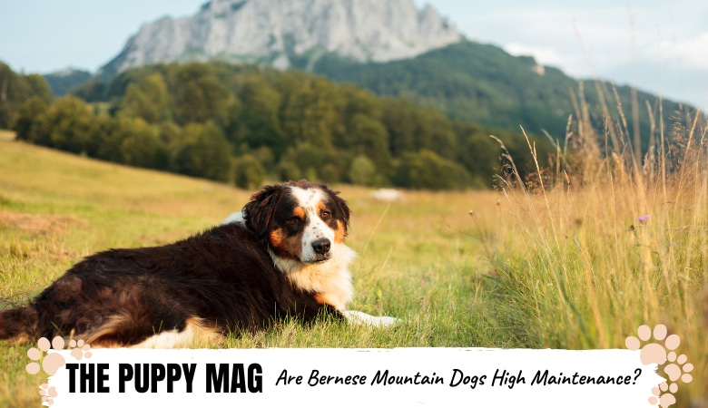 Are Bernese Mountain Dogs High Maintenance? What To Know
