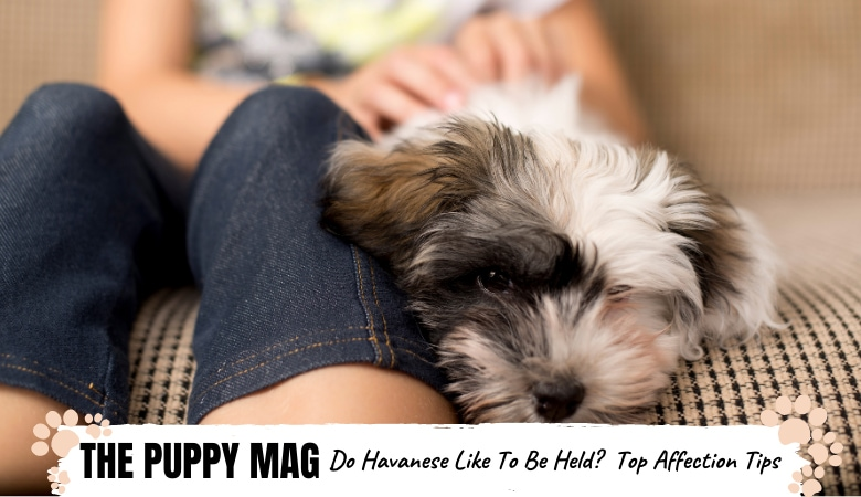 Do Havanese Dogs Like To Be Held? Affection Tips To Know