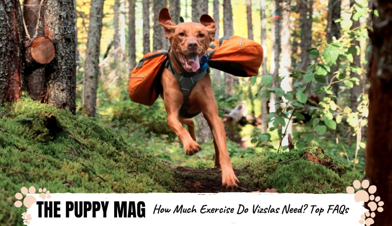 How Much Exercise Do Vizslas Need? Exercise Tips & FAQs