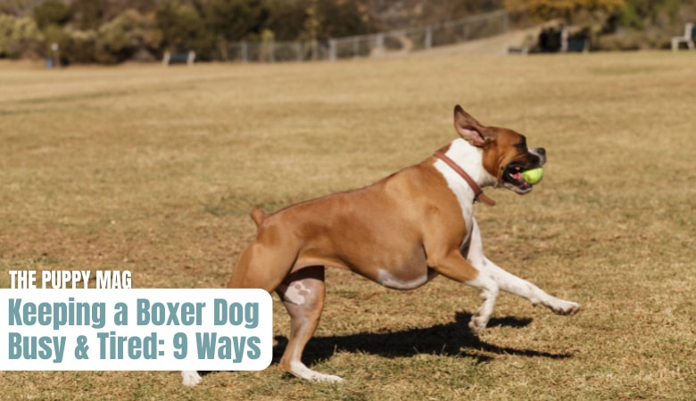 how-to-keep-a-boxer-entertained-and-tired