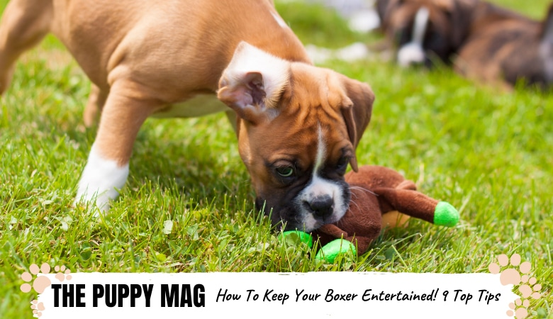 How To Keep Your Boxer Dog Entertained: 9 Easy Ways