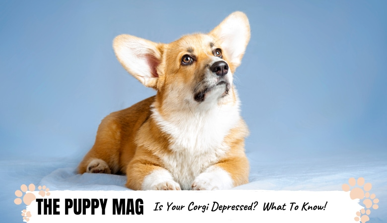 Is My Corgi Depressed? 5 Signs To Know & What To Do