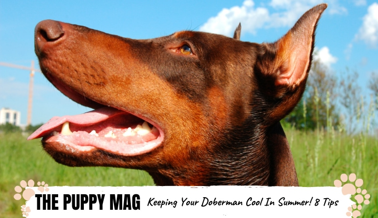 Keeping Your Doberman Cool In Hot Weather: 8 Summer Tips