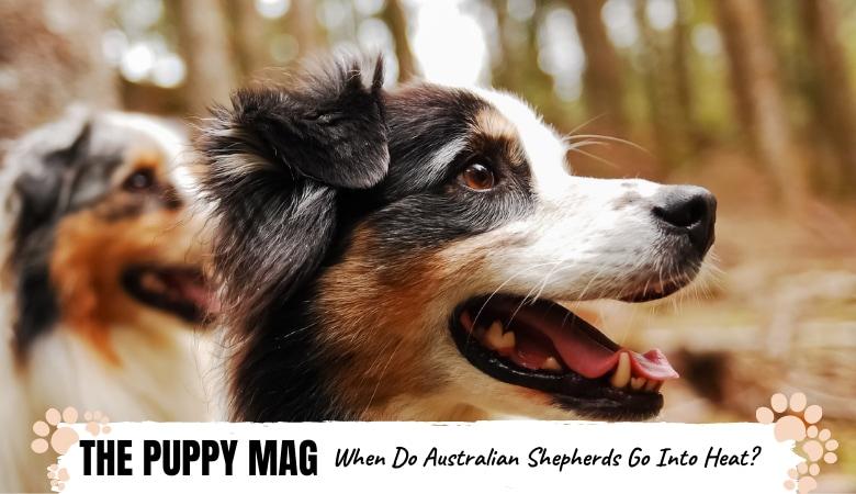 when-do-australian-shepherds-go-into-heat.png