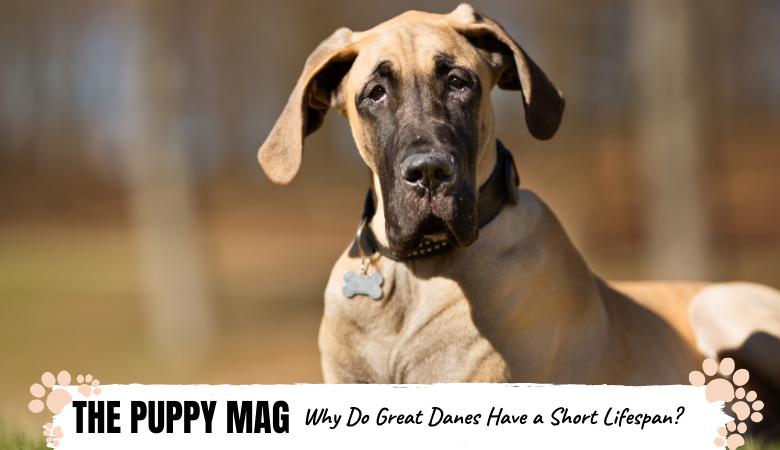 Why Do Great Danes Have a Short Lifespan? 3 Main Reasons