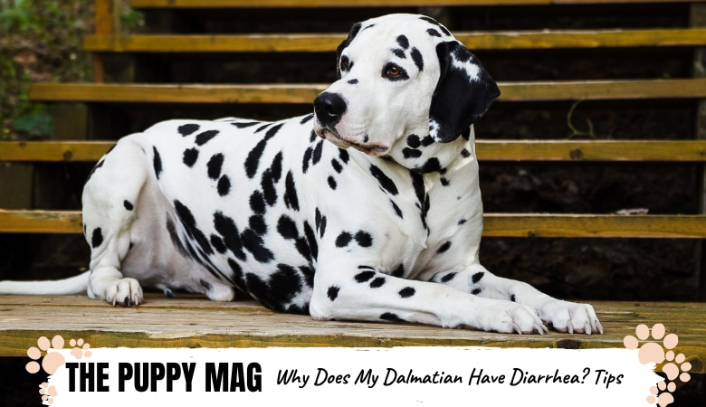 why-does-my-dalmatian-have-diarrhea.png