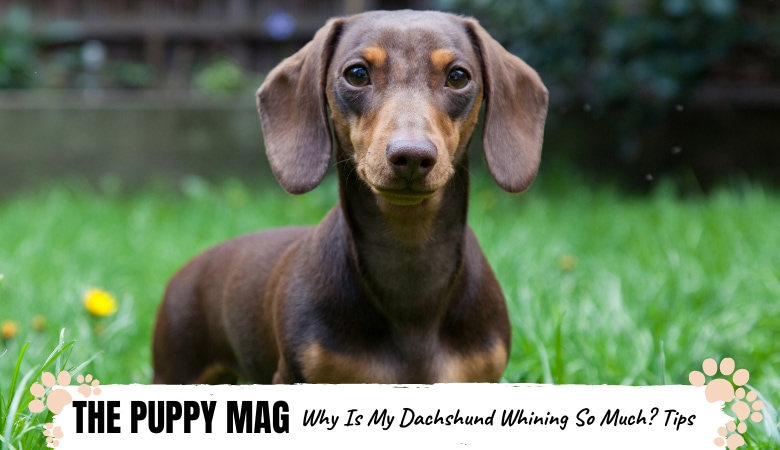 why-is-my-dachshund-whining-so-much.png