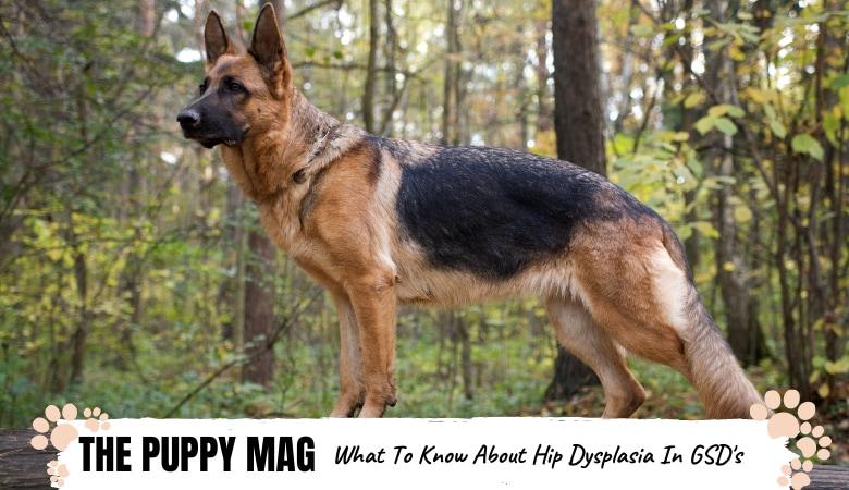 Are German Shepherds Prone To Hip Dysplasia? A Vet's Advice