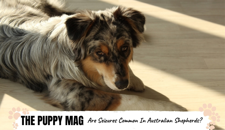 are-seizures-common-in-australian-shepherds.png