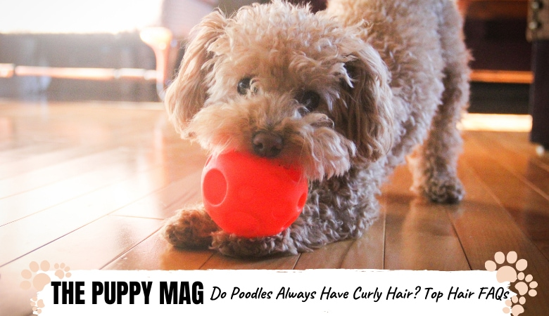 Do Poodles Always Have Curly Hair? Poodle Hair FAQs
