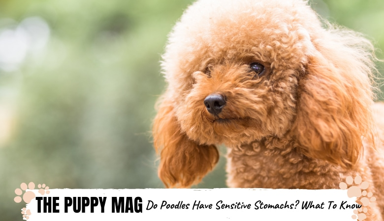 Do Poodles Have Sensitive Stomachs? Tips From a Vet!