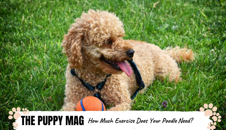 How Much Exercise Does a Poodle Need: All Types & Puppies