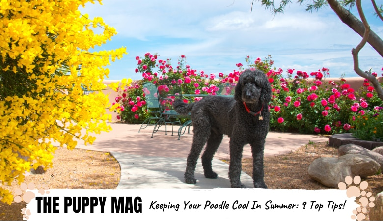 How To Keep a Poodle Cool In Summer: 9 Hot Weather Tips