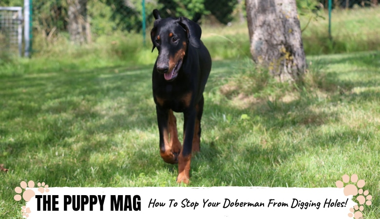 how-to-stop-your-doberman-from-digging-holes.png