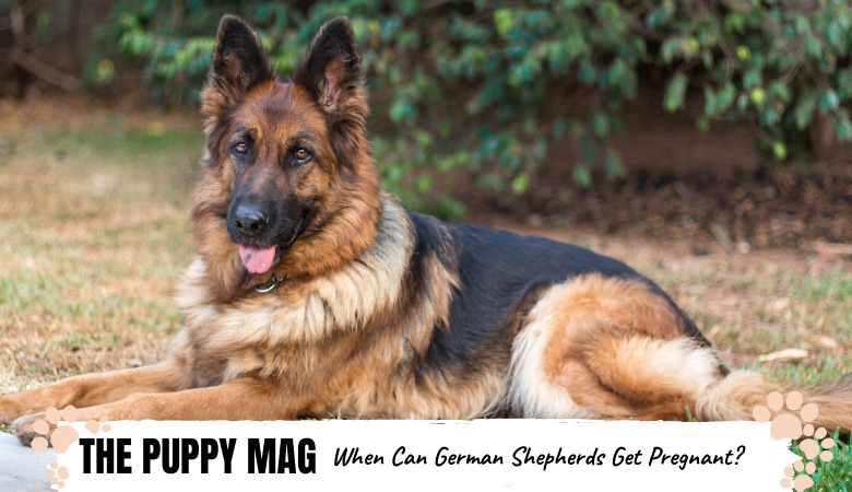 When Can German Shepherds Get Pregnant? Everything To Know