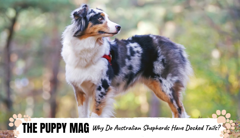 Why Do Australian Shepherds Have Docked Tails? The Truth