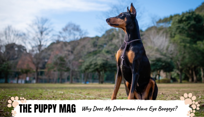 Why Does My Doberman Have Eye Boogers? What To Do